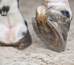 hoof care