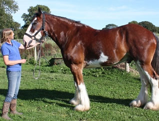 Shire horse recovers from sweet itch